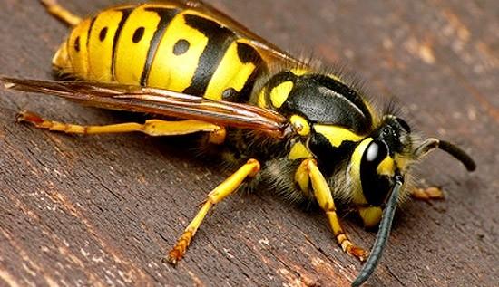 Wespen Vertreiben wespen entfernen